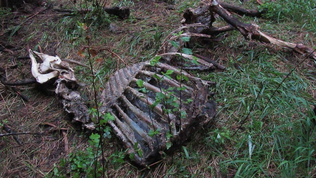 Moose carcass
