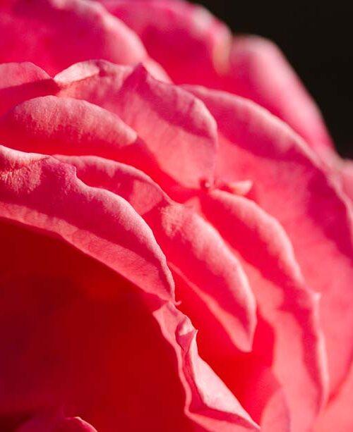 Rose Macro 3663