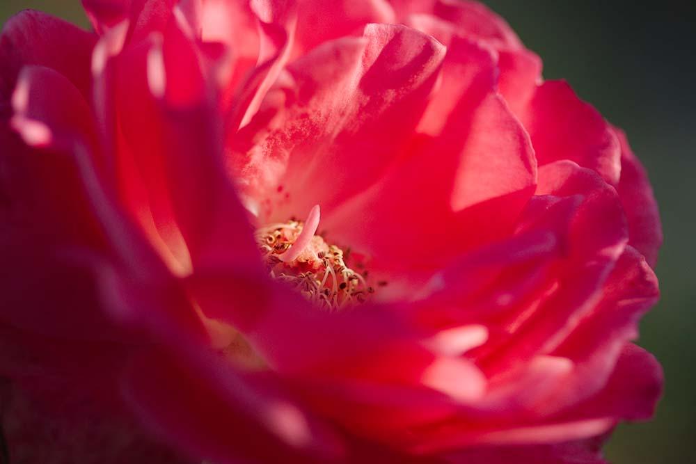 Rose Macro 3674