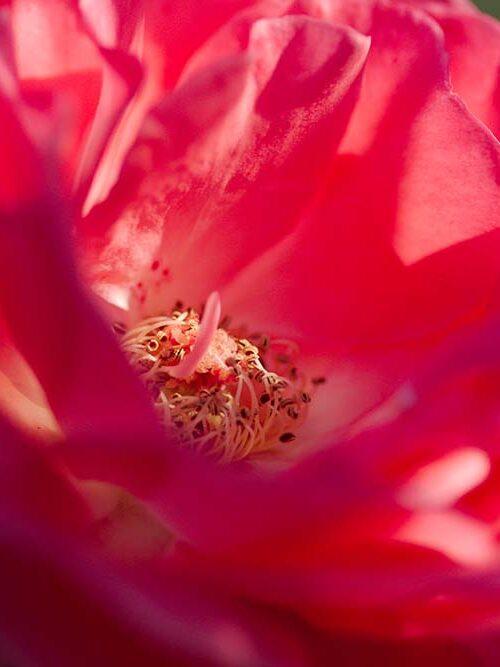 Rose Macro 3678