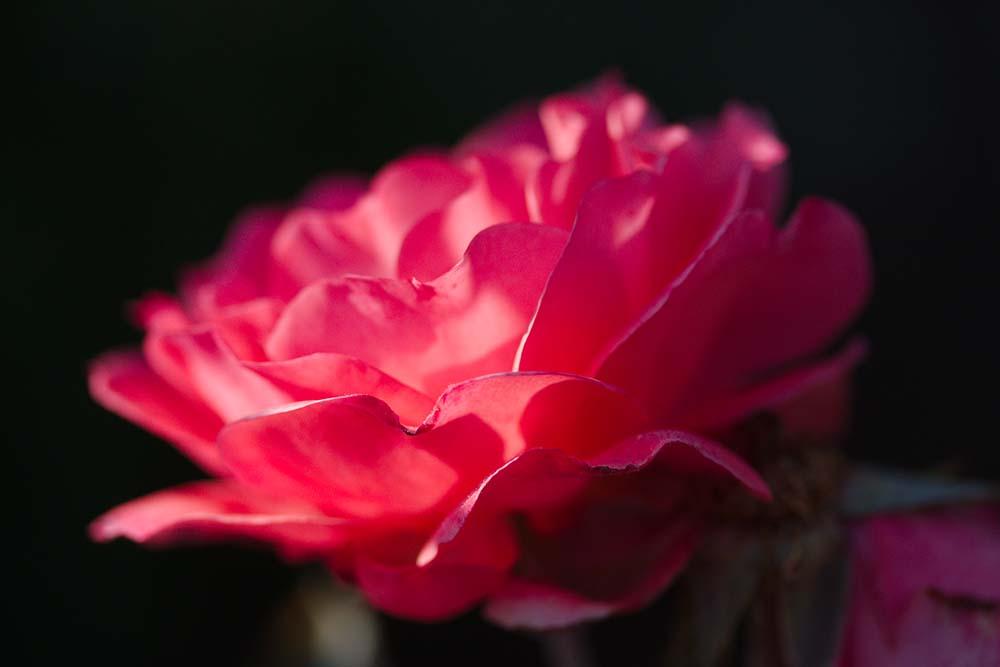Rose Macro 3679